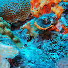 Masked Goby