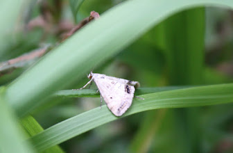 Photo: Cataclysta lemnata  Lepidoptera > Crambidae