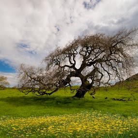 Spring Dance by Lee McLaughlin - Nature Up Close Gardens & Produce ( lee mclaughlin, clouds, tree, nature, oak, magical, meadow, landscape, flowers, sonoma, spring, petaluma )