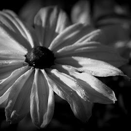 After The Rain by Rebecca Weatherford - Black & White Flowers & Plants ( raindrops, black and white, petals, flower )