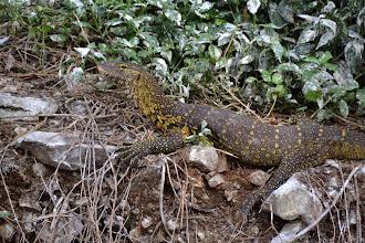 Photo: Nile monitor lizard