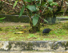 Photo: Endemic Bornean Whistling-Thrush, foraging on berries at Mesilau Nature Center, Kinabalu National Park
