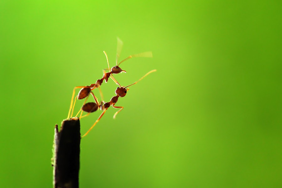 by Dwi Sudarmawan - Animals Insects & Spiders ( macro, ant )