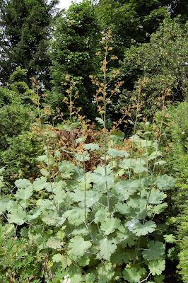 Macleya Cordifolia