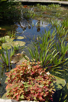 Pond with Heuchera