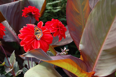 Butterfly on dahlia next to Canna leaf