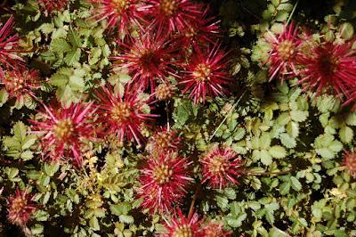 Spiky border plant
