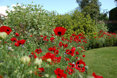 Poppies border