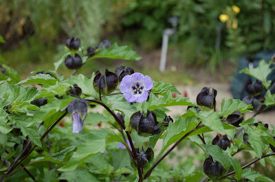 NICANDRA PHYSALOIDES 'Violacea' - Shoo fly plant