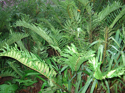 Heligan ferns