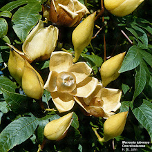 Photo: Ipoméia Rosa de Pau ou Flor de Madeira ( Ipomoea tuberosa )