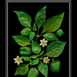 lifecycle of a pepper by Deborah Felmey - Food & Drink Fruits & Vegetables ( pepper, foods, leaves, blossoms, food photography, food,  )