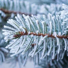frost by Dmitriy Yanushevichus - Uncategorized All Uncategorized ( spruce, pine, hoarfrost )