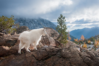 Photo: Billie's Mountain  Before my recent trip into the mountains of Washington I knew there was a chance that we'd see goats, little did I realize was how close they'd be. When I shot this the goat was maybe 20' from me and paid little attention to my presence. She came right into our camp and roamed around as if we weren't there. As clean as she was you'd think she just came out of the groomers parlor.  Prints available:http://bit.ly/1sJfokT  #goat #mountaingoat #washington #wildlife