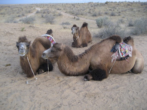Photo: Yurt camp camels