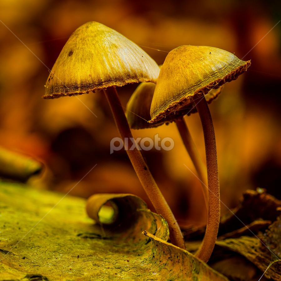 Rising by Peter Samuelsson - Nature Up Close Mushrooms & Fungi ( mushroom, fungi )