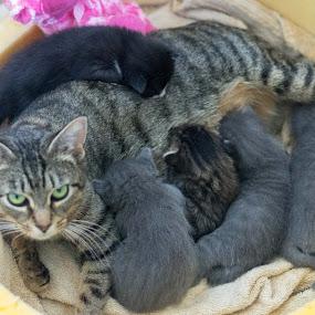 Family  by Jill Zwick - Animals - Cats Portraits ( pet portrait, kitten, pet, cat portrait, kittens )