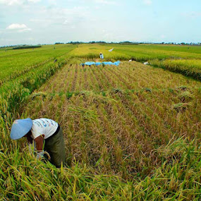 Rice Field by Widia Widana - Landscapes Prairies, Meadows & Fields