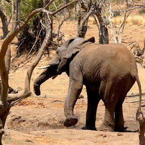 Gettin Jiggy with it by Christo W. Meyer - Novices Only Wildlife ( nature, elephant, wildlife, africa,  )