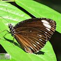 Palmfly ♂