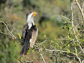 Photo: yellow-billed hornbill
