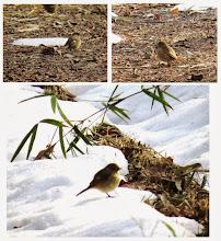 Photo: 撮影者:sayoko sato ジョウビタキ♀ タイトル:雪の中の小鳥たち 観察年月日:2014年2月20日 羽数:1羽 場所:高幡台団地緑地 区分:行動 メッシュ:武蔵府中3H コメント:裏山は大分雪の厚さが減ってきたとは言え、日影は25センチ以上あって、歩きにくさは変わりません。そんな中で小鳥たちは雪の上を飛んだり雪を食べたりしていました。