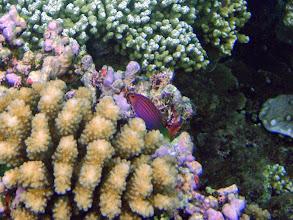 Photo: Pseudocheilinus hexataenia (Six Line Wrasse), Naigani Island, Fiji
