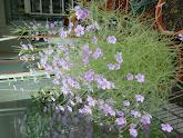 Photo: Byblis 'Goliath' (Cultivar of B. filifolia)