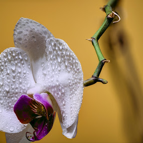 Orchid by Marek Rosiński - Flowers Single Flower ( nature, orchid, nature up close, beauty in nature, flower )