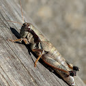Scudder's Short-winged Grasshopper
