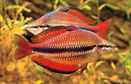 http://blog.aquariuminfo.org/wp-content/uploads/2015/04/rainbowfish.jpg