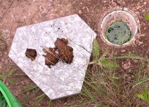 Photo: Dung-baited Pitfall Trap. Excess dung smeared on top of rain guard.