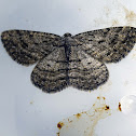 Bold-waved Bark Moth