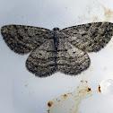 Bold-waved Bark Moth
