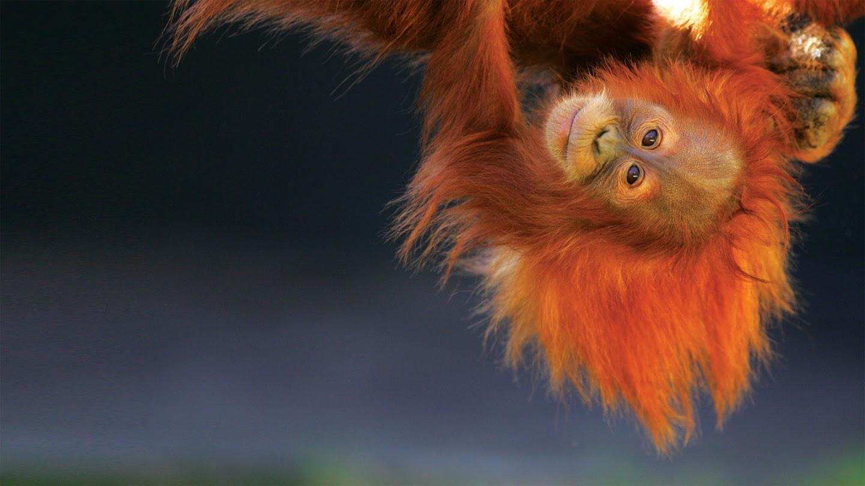 Watch Orangutan Jungle School live