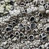 Tephromela Lichen