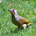 European green woodpecker; Pito real