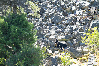 Photo: Black bear mother and cub on the Main Salmon River in central Idaho.