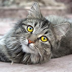 by David Shearer - Animals - Cats Portraits