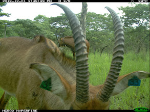 "Photo: A hybrid backcross male in the foreground Um macho híbrido ""backcross"" em primeiro plano"