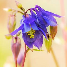 Aquilegia by James Johnstone - Flowers Single Flower ( columbine, aquilegia, granny's bonnet, flower )