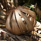Queensland Fan Palm