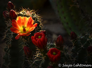 Photo: Hope everyone had nice Easter weekend.... I spent a beautiful morning with my photog friends :)  Saija Lehtonen Photography  #CactusFlowers #Cactus #Flowers #Floral #Nature #Photography #Arizona