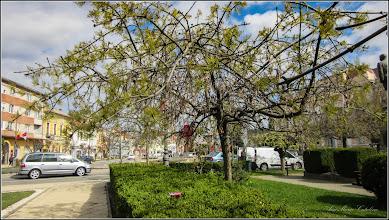Photo: Artar American (Acer negundo) - din Piata 1 Decembrie 1918, parc - 2017.04.12