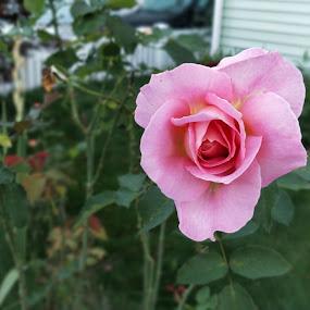 Pink Rose Flower by Harish Kumar K - Flowers Single Flower ( rose, single, flower )