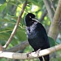 Great-tailed Grackle, Zanate or Urraca