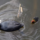 euraisian coot with chick