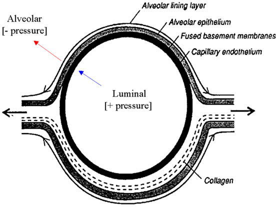 Schematic showing the structure of the blood-gas barrier.  The transmural pressure, thought crucial for causing rupture of the pulmonary capillary and extravasation of blood into the alveolar space, is the summation of capillary luminal and alveolar pressures [70].
