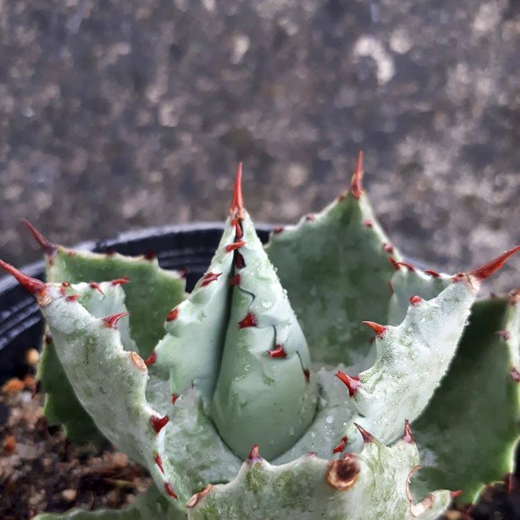 连刺甲蟹 Agave Isthmensis 'Ouhi Kobutogani'