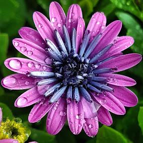 by Zhenya Philip - Flowers Single Flower ( macro, nature, purple, water droplets,  )